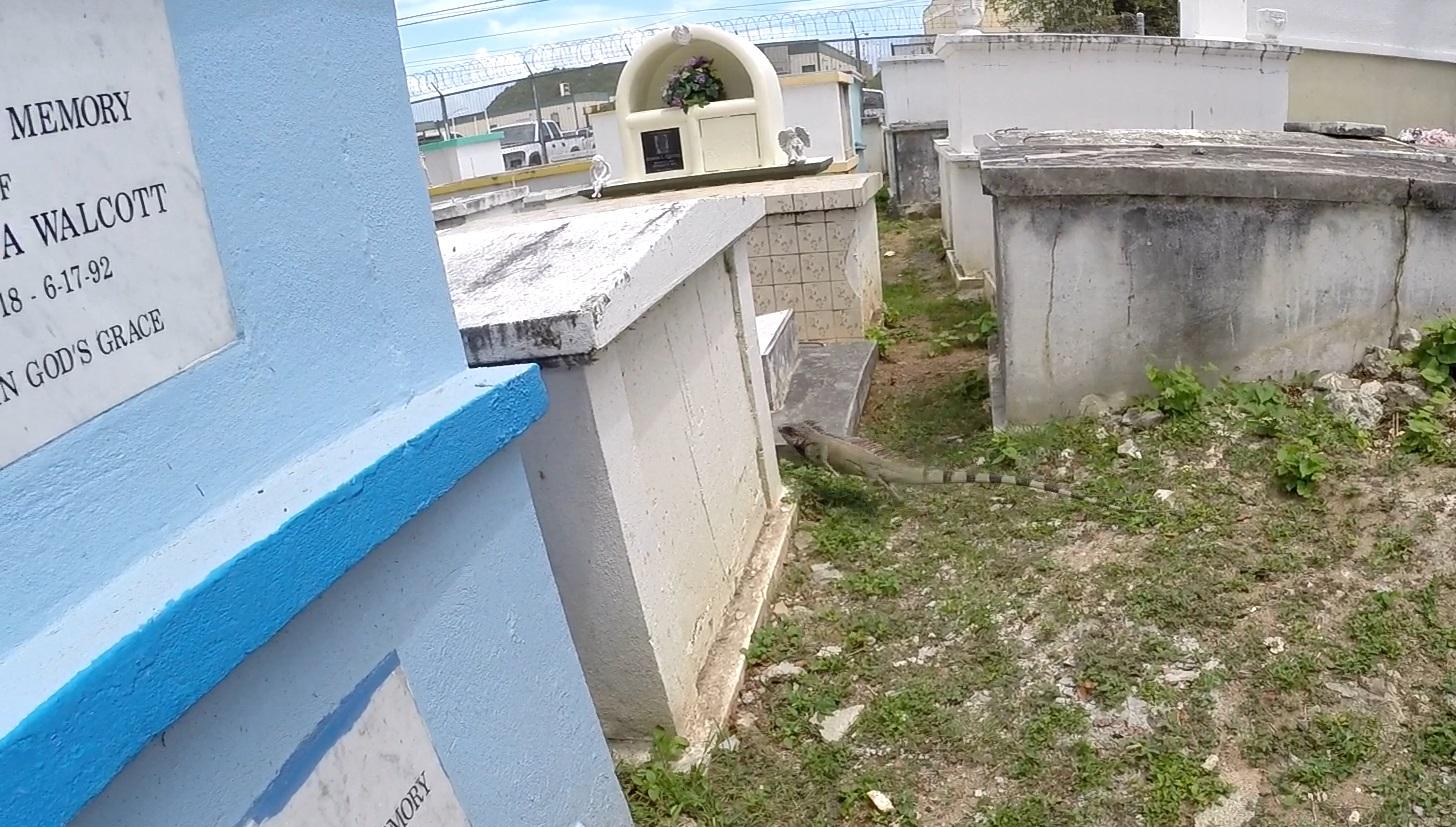 Iguana in a Cemetery
